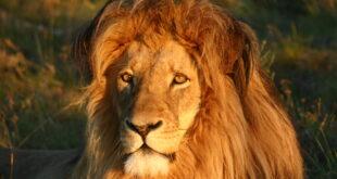 I Afrika hvor løven går