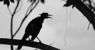 Højt på en gren en krage